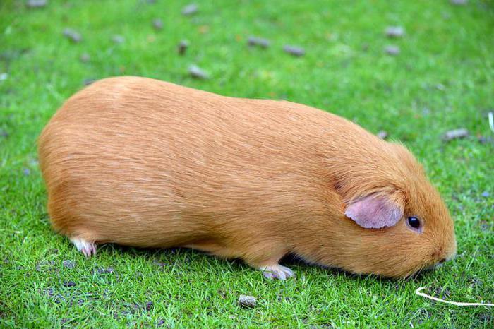 cum să faci animale de companie pakka să piardă în greutate