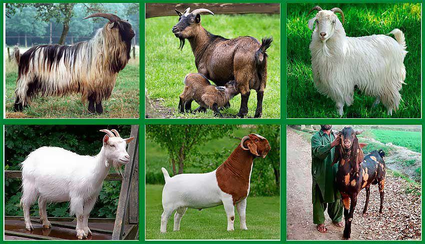 Factori care influenţează randamentul de lapte la caprine