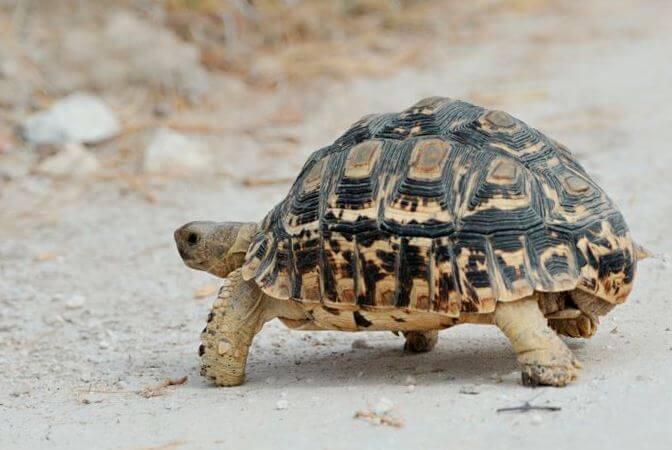 țestoasele pot pierde în greutate