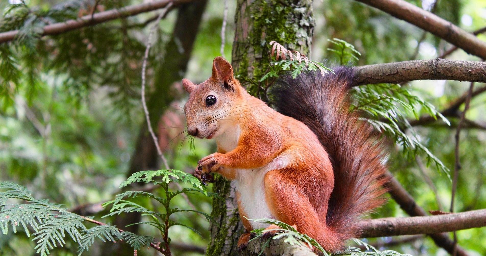 Veveriță roșie