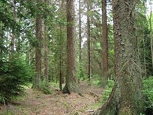 pădure de molid ewyn