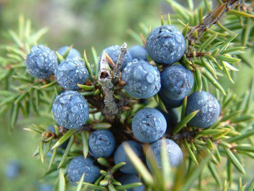 pierderea de grăsime a fructelor de ienupăr nicio pierdere în greutate, dar pierderea grăsimii corporale