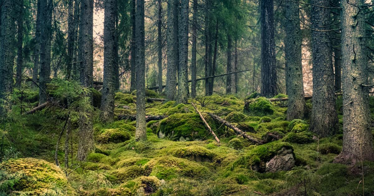 """Copacii. Scenariu activități extracurriculare """"ziua pădurii"""" De ce pădurea pionieră a pinului"""