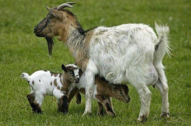 de ce o capră ar pierde în greutate