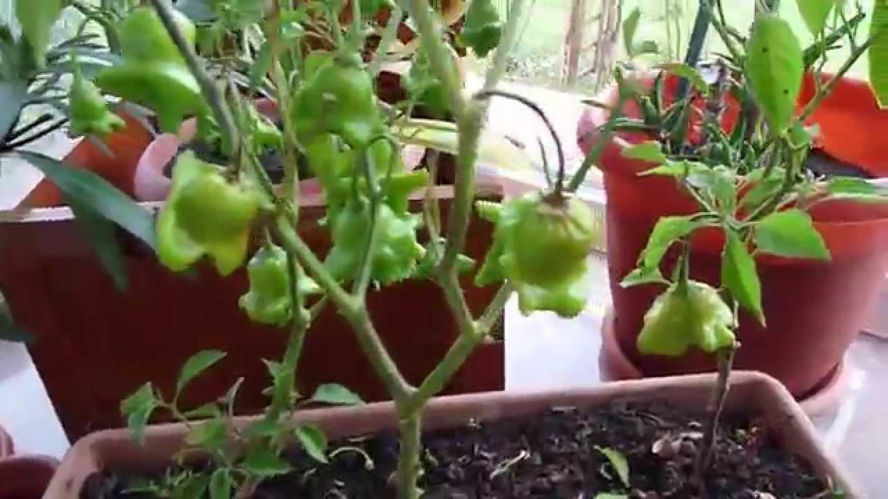 Cultivarea ardeilor: Plantare, îngrijire și recoltare
