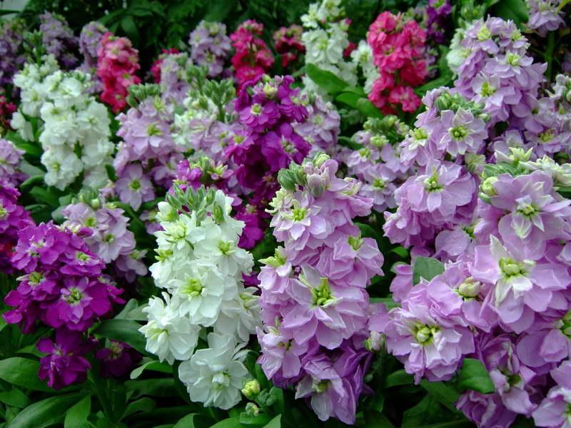 Levka: fotografii de flori, în creștere de la sămânță, plantare, îngrijire - Îngrășăminte