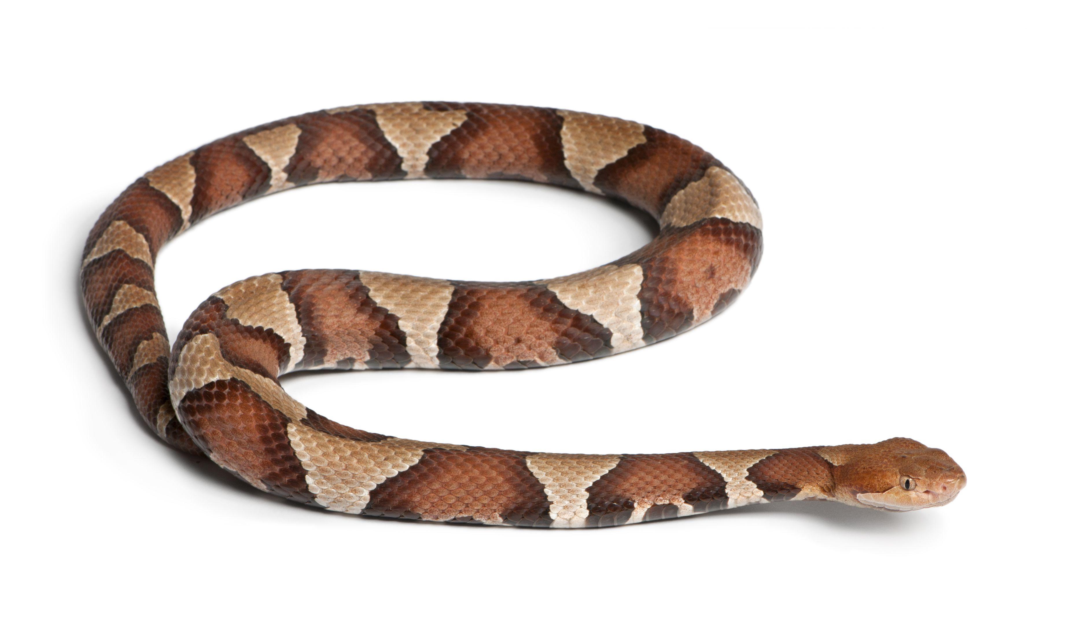 pierderea în greutate a șarpelui