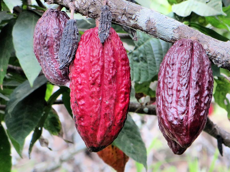 sunt cacao niburi bune pentru pierderea în greutate