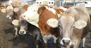 scăderea în greutate a vacilor